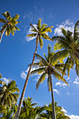 Coconut palms, Gunu, Naviti Island, Yasawa Group, Fiji Islands, South Pacific