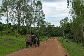 Young men push bicycles with collected firewood along a dirt road with goats behind them, near Kabarondo, Eastern Province, Rwanda, Africa