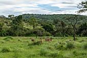Antilopen in Grasland mit Bäumen und Berg dahinter, Akagera National Park, Eastern Province, Ruanda, Afrika