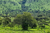 Bäume in üppigem Grasland, Akagera National Park, Eastern Province, Ruanda, Afrika