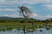 Grasland mit Vögeln die auf Bäumen in einem Teich ruhen, nahe Akagera National Park, Eastern Province, Ruanda, Afrika