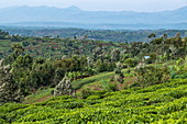 View over tea plantation, trees, lush vegetation and mountains in the distance, near Gisakura, Western Province, Rwanda, Africa