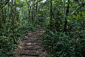 Path through lush jungle during a chimpanzee discovery hike in Cyamudongo Forest, Nyungwe Forest National Park, Western Province, Rwanda, Africa