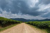 Gravel road leads through the Gisakura tea plantation with mountains of the Nyungwe Forest National Park behind, near Gisakura, Western Province, Rwanda, Africa