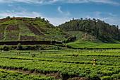 Workers harvest tea leaves in a tea plantation, near Gisakura, Western Province, Rwanda, Africa