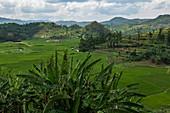 View over banana tree and tea plantation, near Gitesi, Western Province, Rwanda, Africa
