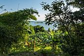 Banana trees in lush gardens along the shores of Lake Kivu, Kinunu, Western Province, Rwanda, Africa