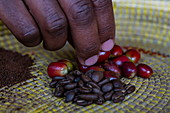 Detail of hand with coffee beans at different stages in a coffee plantation, Kinunu, Western Province, Rwanda, Africa