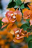 Orange colored bougainvillea flowers in the gardens of the Kivu Paradis Hotel Resort on the banks of Lake Kivu, Nyamyumba, Western Province, Rwanda, Africa