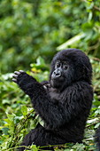 Young gorilla of the Sabyinyo group of gorillas, Volcanoes National Park, Northern Province, Rwanda, Africa