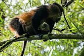 Golden Monkey (Cercopithecus kandti) seen on tree during Golden Monkey Tracking Excursion, Volcanoes National Park, Northern Province, Rwanda, Africa