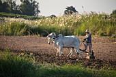 Ochsen ziehen Pflug und Landwirt entlang Feld am Mekong-Ufer, nahe Preah Prosop, Fluss Mekong, Kandal, Kambodscha, Asien
