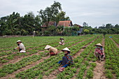Vietnamese women wearing conical hats work in a peanut field, My Luong Canal, Mekong River, near My An Hung, An Giang, Vietnam, Asia