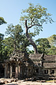 The Ta Prohm Temple is slowly engulfed by trees, Angkor Wat, near Siem Reap, Siem Reap Province, Cambodia, Asia