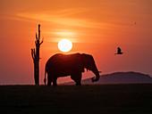 An adult African bush elephant (Loxodonta africana) at sunset on the shoreline of Lake Kariba, Zimbabwe, Africa