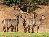 A small herd of common waterbucks (Kobus ellipsiprymnus), on the shoreline of the Lower Zambezi River, Zimbabwe, Africa