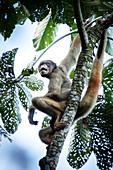 Critically endangered Northern Muriqui (woolly spider monkey) (Brachyteles hypoxanthus) in Brazil's Atlantic coastal rainforest, Minas Gerais, Brazil, South America