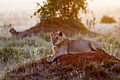 Two young male lions (Panthera leo) in the bush, Tsavo East National Park, Kenya, East Africa, Africa