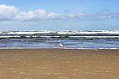 Herring gull (Larus argentatus) on the beach, sand, North Sea, Langeoog, East Frisia, Lower Saxony, Germany