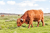 Scottish highland cattle (Bos taurus) on pasture, wind, grass, Langeoog, East Frisia, Lower Saxony, Germany