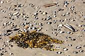 Cockles (Cerastoderma edule), beach, sand, seagrass, Spiekeroog, East Frisia, Lower Saxony, Germany