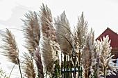 Pampas grass (Cortaderia selloana) in the garden, Spiekeroog, East Frisia, Lower Saxony, Germany