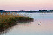 Swan on the Selliner See, Ruegen, Baltic Sea, Mecklenburg-Western Pomerania, Germany