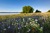 Flower meadow on the Reddevitzer Höft peninsula, Ruegen, Baltic Sea, Mecklenburg-Western Pomerania, Germany