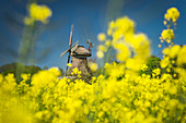 Blossoming rapeseed field and Stumpenser Mühle, selective focus, Horumersiel, Wangerland, Friesland, Lower Saxony, Germany, Europe