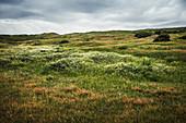 Dünenlandschaft mit blühender Kamille, Spiekeroog, Ostfriesland, Niedersachsen, Deutschland, Europa
