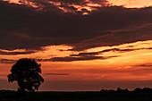 Weidenbaum auf Feld in der Abenddämmerung, Dykhausen, Sande, Friesland, Niedersachsen, Deutschland, Europa