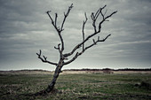 Barren tree in a meadow in front of dunes under cloudy skies, Schillig, Wangerland, Friesland, Lower Saxony, Germany, Europe