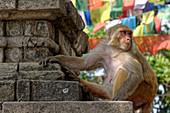 Macaque in Swayambhunath, Kathmandu, Nepal, Asia.