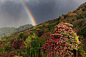 Rhododendron trees in Tadapani, Nepal, Himalaya, Asia.