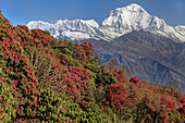 Rhododendron forests on Poon Hill, behind it Dhaulagiri, Nepal, Himalayas, Asia.