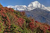 Rhododendrenwälder am Poon Hill, dahinter der Dhaulagiri, Nepal, Himalaya, Asien.