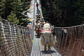 Yaks cross a suspension bridge over the Dhut Kosi river in Solo Khumbu, Nepal, Himalayas, Asia.