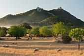Sheep, Sant Salvador Monastery, Felanitx, Mallorca, Balearic Islands, Spain