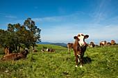 Milchkühe am Schauinsland, Schwarzwald, Baden-Württemberg, Deutschland