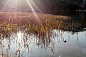 Reed (Phragmites australis) on the bank, reeds, Spitzingsee, Bavaria, Germany