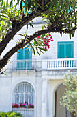 Detail des Oleanders und der bunten Fensterläden im Hintergrund in Capri, Italien