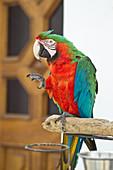 Papagei in den Straßen von Anacapri in Capri, Italien