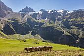 Cows on pasture, cattle (Bos taurus), Gross Spannort in the Uri Alps on the Fürenalp, Stäuber, Engelberg, Switzerland