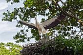 Storks (Ciconiidae), Mühlenpark, Wyk, Föhr, Scheswig-Holstein, Germany