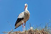 White stork (Ciconia ciconia), young, nest, Scheswig-Holstein, Germany