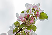 Apple blossom (Malus) near Bad Feilnbach, Bavaria, Germany