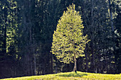 Young birch tree (Betula insignis) in the backlight in Leitzach Valley, Bavaria, Germany