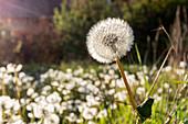 Dandelion in the backlight, dandelion (Taraxacum officinale)