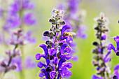 Honey bee (Apis mellifera) on lupins (Lupinus)