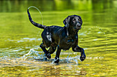 Outside; Outside; Outdoor shot; Outdoor shot; Europe; Field; Domestic animal; Dog; Puppy; Young animal; Labrador; Nobody; Portrait; Retriever; Mammal; Mammal; Watch; Looking; Black; Animal; Water; River; River; Splash; Dynamics; Summer; Bath; Leap; Leap; Left out; Joy; Enjoyment of life; Vitality; Refreshment;